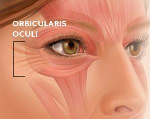 otot orbicularis oculi