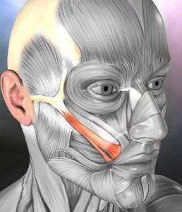 Otot Zygomatic Major